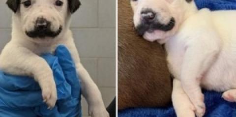 """Cãozinho com bigode de """"Salvador Dalí"""" vira rosto de campanha de adoção"""