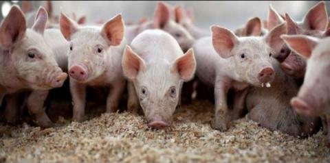 Com a carne bovina em alta, produção de suínos ganha destaque em MS