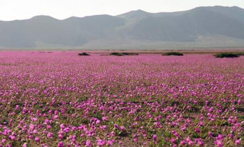 Deserto do Atacama está coberto de flores