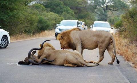 Leões caçam antílope na frente de turistas na África do Sul