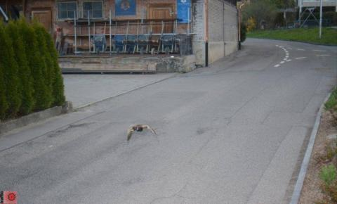 Câmera de trânsito flagra pato voando acima do limite de velocidade em rua na Suíça