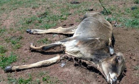 Fazendeiro é multado em R$ 64 mil por abandonar gado que morreu de fome Os animais estavam extremamente debilitados, sem conseguir levantar.