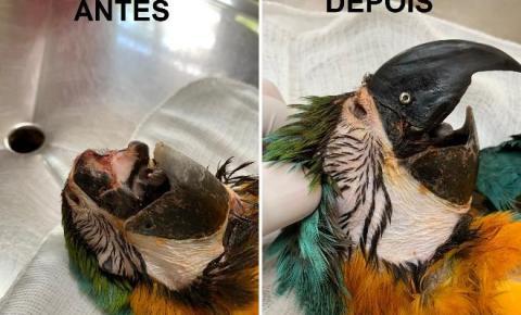 Em cirurgia de 1h30, arara-canindé mutilada recebe transplante de bico Bico foi retirado de outra arara já falecida