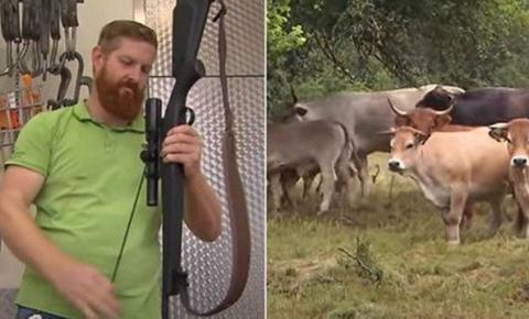 Fazendeiro abate vacas com fuzil porque 'é mais humano'