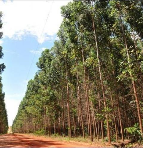 Mato Grosso Sul é o segundo Estado do país na produção de eucaliptos